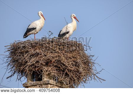 White Stork In Courtship Period In Early Spring