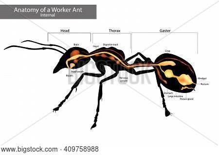 Internal Ant Anatomy. Physical Characteristics Common To All Ants
