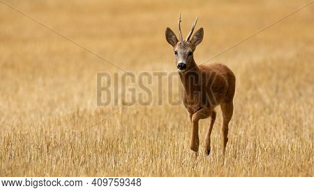 Roe Deer Walking On Stubble In Summer With Copy Space