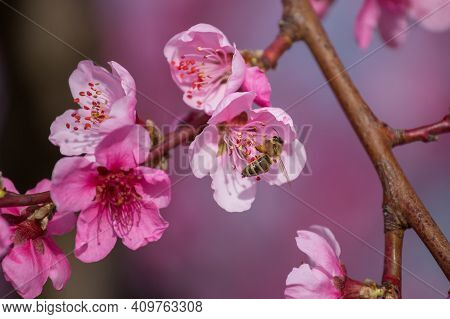 A Branch Of A Blooming Peach. A Bee Sits On A Peach Blossom And Collects Honey. In The Spring, Peach