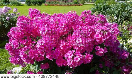 Phlox Paniculata. Beautiful Pink Flowers In Garden. Bright Purple Background. Gardening. Flowerbed I