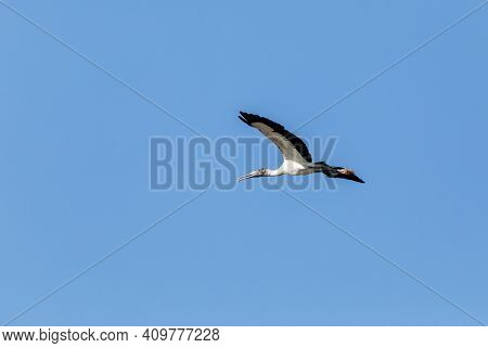 Wings Spread, A Wood Stork Mycteria Americana Flies Over A Marsh In Naples, Florida