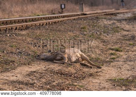 A Dead Deer, Killed By A Train, Lying By The Railroad Tracks. Single-track Railway Line. It's Early