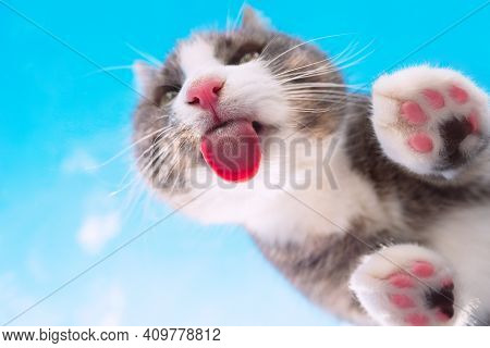 Bottom View Of Funny Cat With Pink Nose Licking Invisible Glass On A Blue Sky Background. Funny Pet