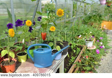 Watering Can, Pepper And Sunflowers Seedlings In Pots On The Table In Greenhouse.  Vintage Botanical