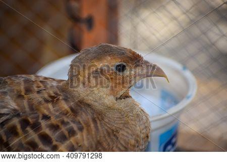 Quail Bird In Cage Close Up. Partridge Wild Hen Portrait, Chakor Female Animal Alone Wallpaper Backg