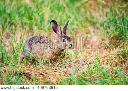 European Hare Or Lepus Europaeus Leaps In A Meadow