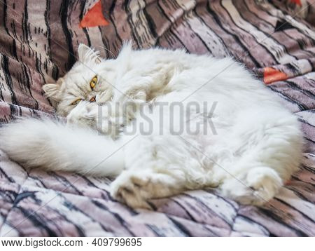 British Long-haired White Cat Lies In A Funny Pose On The Bed.