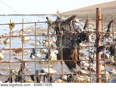Deceased Seagull Caught In A Metal Fence Near The Sea, The Netherlands