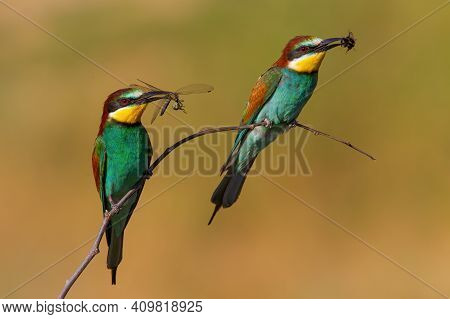 Two European Bee-eaters With A Catch In Beak Sitting On A Twig In Summer Nature