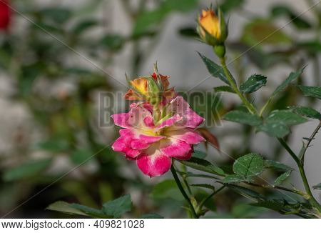 Very Unusual Flower On Top Of A Flower In Nature, Blooming New Bud Above The Older Rose Flower, Pret