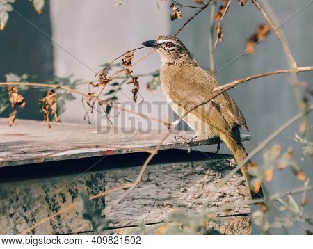 White-browed Bulbul Perched On Top Of The Backyard Concrete Fish Tank Roof Sheet And Search For Food