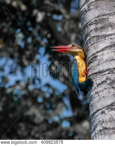 Stork Billed Kingfisher Grabs Onto A Palm Tree And Looks Back. Sharp Pointy Red Beaks Open A Little.