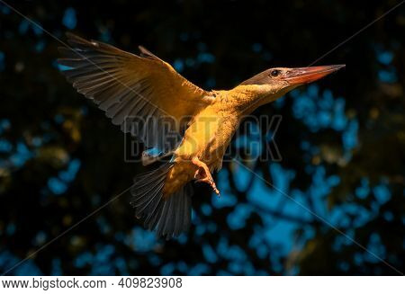 Stork Billed King Fisher Bird In Flight Photograph, Evening Bright Sunlight Hitting Its Body And Sho