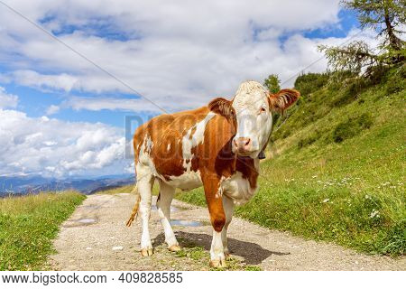 Young Curious Bull On The Road In The Italian Alps. Italian Dolomites. Trentino Alto Adige
