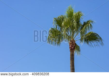 Borassus Flabellifer, Commonly Known As Doub Palm, Palmyra Palm, Tala Palm, Toddy Palm, Wine Palm, O