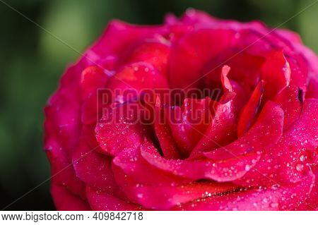 Pink Rose. Beautiful Perfect Pink Rose With Dew Drops On The Petals. Beautiful Summer Background, Ro