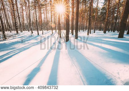 Sun Sunshine Sunlight Through Frosted Pine Trees Frozen Trunks Woods In Winter Snowy Coniferous Fore