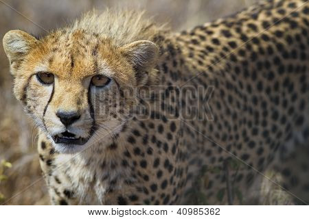 Young cheetah in long grass, Lewa Downs, Kenya, Africa