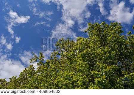 Fresh Green Foliage Of Oak Trees On The Background Of Blue Sky With White Clouds In Spring