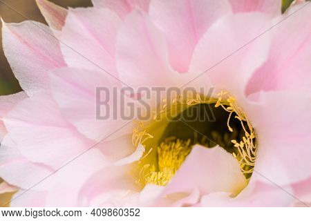 Macro View Of Yellow Anthers. Blurry Pink Cactus Flower. Nature Background.