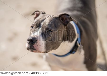 Old Pitbull Terrier Closes His Eyes While Enjoying Sunshine On A Sunny Day In Spring