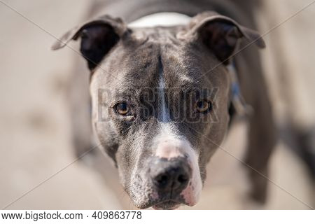 Close Up Of An Adult Pitbull Terrier Senior Dog That Is Looking At You
