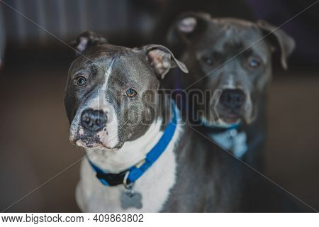 Pitbull Terriers Are Looking At You And Waiting For Your Command
