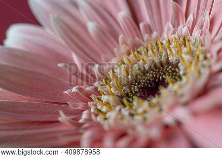 Narrow Focus Closeup Of Pink Gerber Flower.