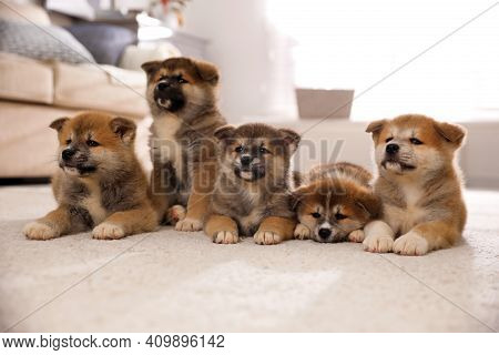 Adorable Akita Inu Puppies On Carpet Indoors