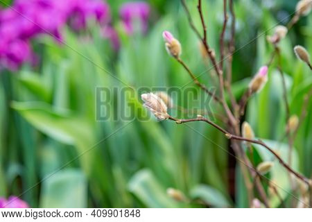 Delicate Willow Twig With A Blossoming Bud