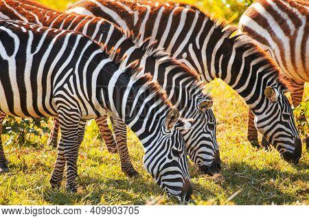 Plains Zebras (equus Quagga) Eating Grass During The Sunset
