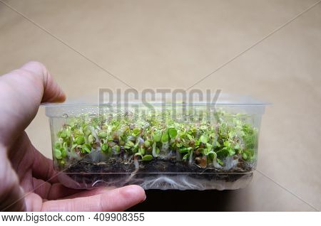 Close Up Stems And Roots Of Germinating Radish Microgreen Seeds Through Linen Mat In Plastic Contain