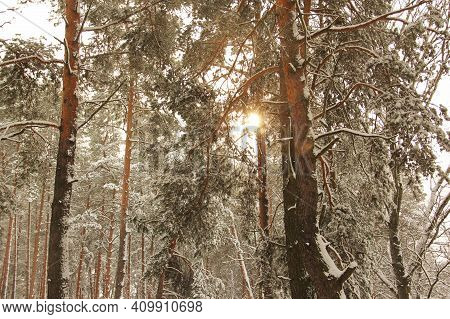 Wonderful Winter Forest. Sun Beams In A Beautiful Winter Forest. Incredibly Beautiful Nature. Sun Gl