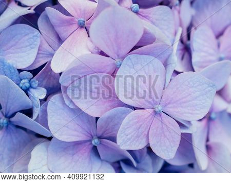 Abstract Blue Floral Background. Purple Hydrangea Texture. Floral Decor For Presentation Of Natural