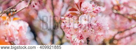 Beautiful Nature Scene With Branches Of Blooming Cherry Tree In Spring. Sakura Flowers In Bloom.