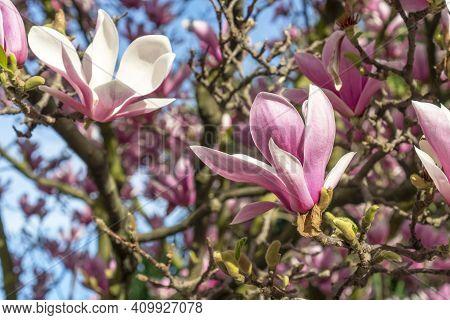 Beautiful Flower Close Up. Blooming Magnolia Tree.