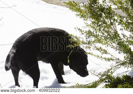 Black Lab In Snow Sniffing Under Bush Hunting