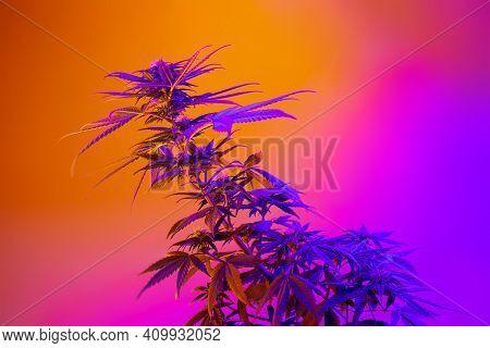 Cannabis Plant In Beautiful Neon Vibrant Style. Purple Medicinal Marijuana. New Aestethic Fashion Tr