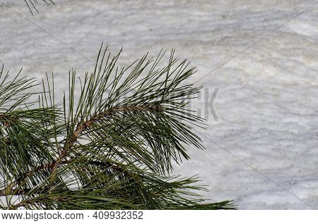 Green Pine Bough Against Snowy Background With Texture And Space For Copy