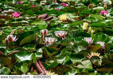 Red water lily flowers (Nymphaea alba f. rosea) in a lake. The flower is a red variety of the white water lily (Nymphaea alba).