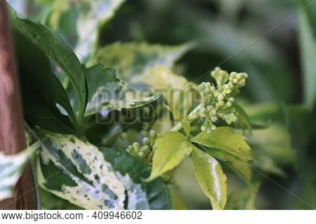 Tiny Flower Buds On A Variegated Virginia Creeper