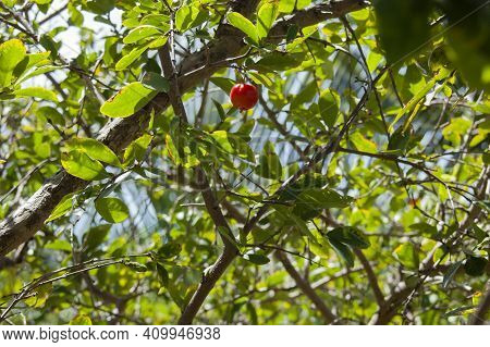 Caribbean Poisonous Cherry Apple In A Tree.