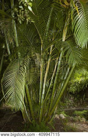 Ornamental Ferms And Palm Leaves In A Tropical Jungle Setting. Great Background Abstract Image.