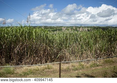 Tropical Landscape Country Road With Wild Sugar Cane Plants. Bright Blue Sky, Scenic Landscape In Th