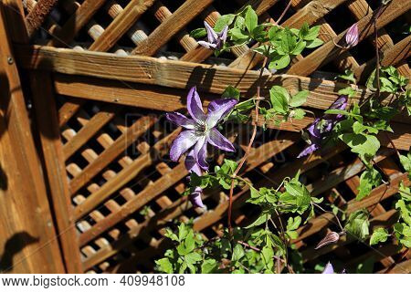 Beautiful Clematis Vines Climbing A Lattice In The Summer
