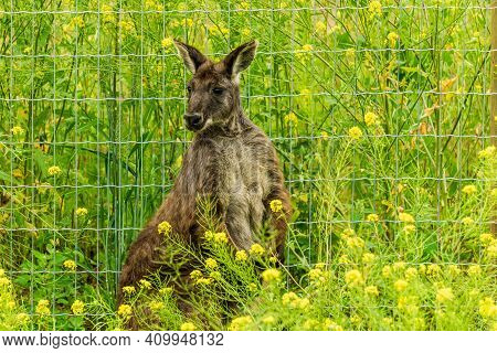 Closeup Of Sitting Red-necked Wallaby Macropus Rufogriseus Animal Farm