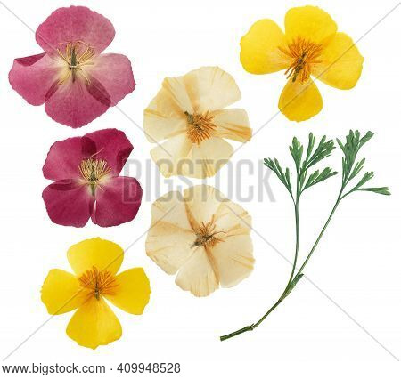 Pressed And Dried Delicate Yellow Flowers Eschscholzia (eschscholzia Californica, California Poppy).