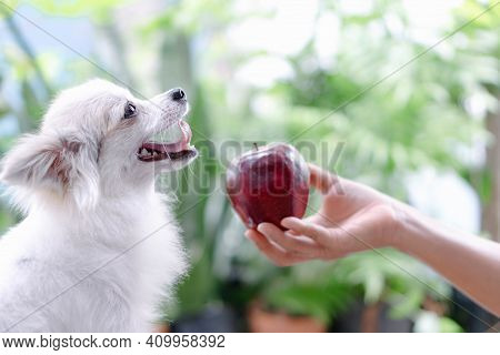 Closeup Cute Pomeranian Dog Looking At Red Apple In Hand With Happy Moment, Selective Focus