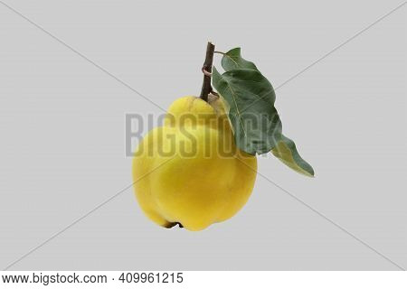 Ripe Quince Tree Fruit Isolated On Gray Background.